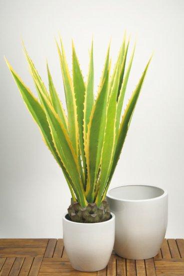 Agave kaktus